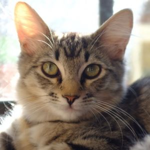 Greta is a sweet medium-haired brown tabby who likes to take things slowly She