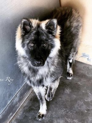 Meet super stunning Chow Mane a 10 months old babygirl we recently rescued from a shelter for bein