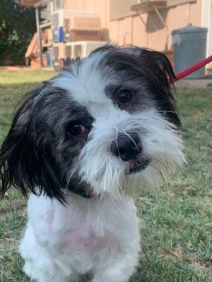 Brady Lhasa Apso Dog