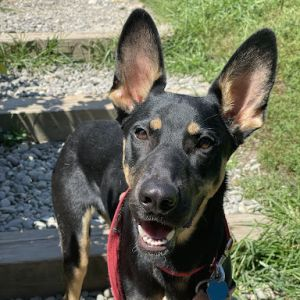 Felicity is a stunning 1 year young DobermanMalinois mix that weighs about 50 pounds She was found