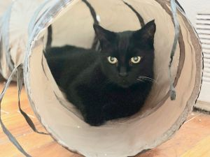 Sweet little Mickey is a gentle 10-year-old kitty who loves loves loves getting head scratches and c