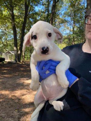 Carley (GA) Labrador Retriever Dog