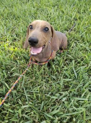 You can fill out an adoption application online on our official websiteYogi TX is a male Dachshun