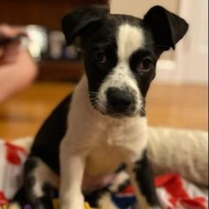 Meet Puppy Papaya an adorable 10-week-old female boxer mix pup She is not at the shelter but in a