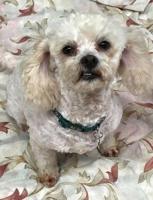 Franc Maltese Dog