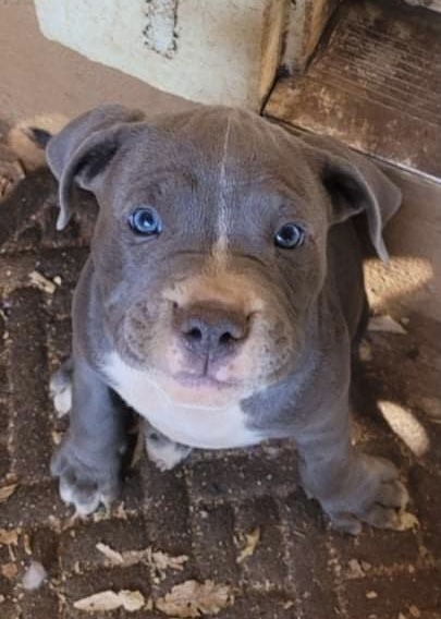 Pitty Pop Puppies