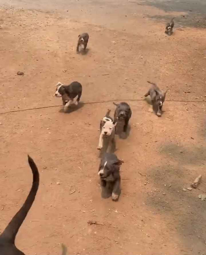 Pitty Pop Puppies  4