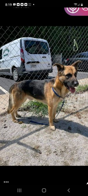 Stanley is a Pure German Shepherd 4 year old male that found himself in a high kill shelter due to