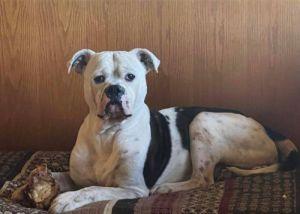 Sam American Bulldog Dog