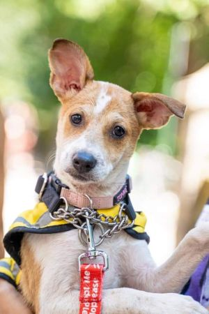 All dogs are located in NYNJ area 4-5m 15lbs from Puerto Rico 1 of 3 triplets--Peter Paul  Mary