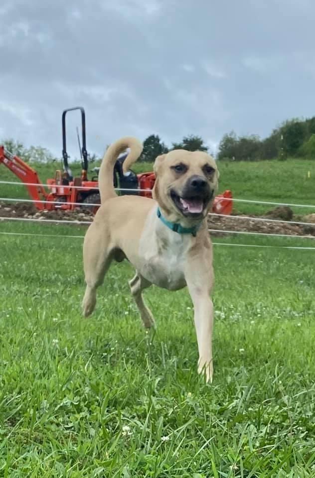 Sampson, an adoptable German Shepherd Dog & Labrador Retriever Mix in Palos Heights, IL_image-1
