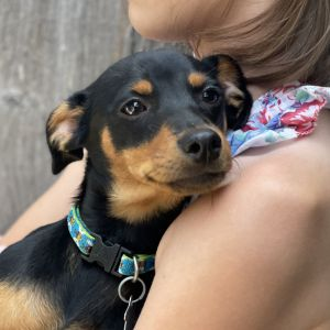 Trip is a leggy Min PIN PUP He is happy and playful and a great boy He will probably be