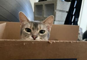 Sophie is a 6 yr blue abyssinian that acts more like a 6 month old kitten She is quick playful