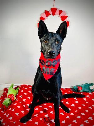 Zeus Belgian Shepherd / Malinois Dog
