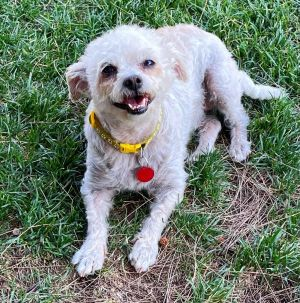 Blush Maltese Dog