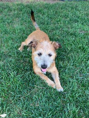 River Terrier Dog