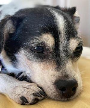 Agatha Chihuahua Dog