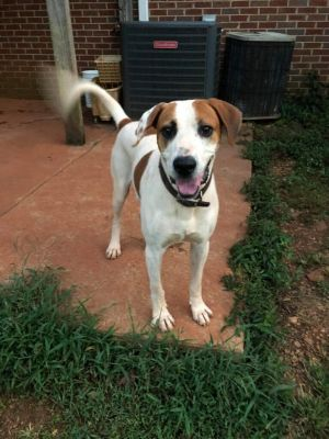 Otis is a beautiful Fox Hound mix about a year old and weighs 50 pounds He is a happy go