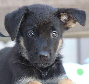 Maddie von Rosa German Shepherd Dog Dog