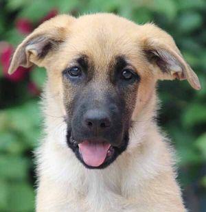 Carly von Rosa German Shepherd Dog Dog