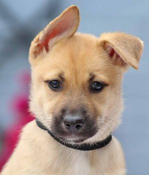 Marnie von Layla German Shepherd Dog Dog