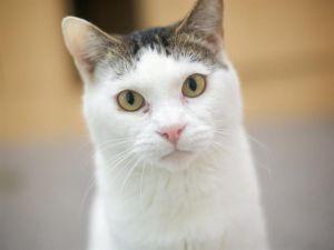 ONER Domestic Short Hair Cat