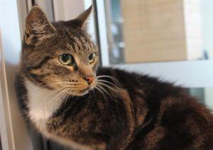 PANAMA Domestic Short Hair Cat