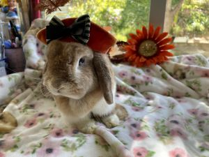 Layla is a mini lop almost 2 yrs She has a dewlap She is adorable and sweet b