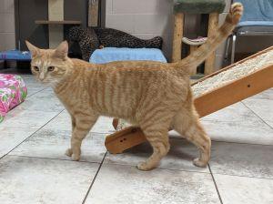 Arthur Domestic Short Hair Cat