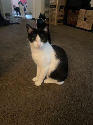 Milk Money Tuxedo Cat