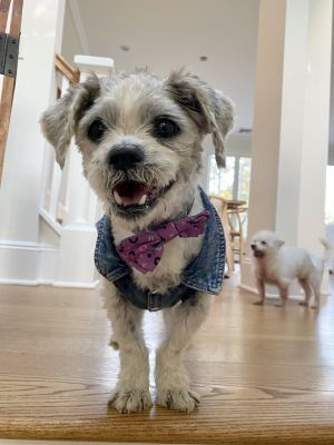 Welcome to our newest super seniorRocky Rocky is a 11lb 13yo male shih tzu mix He is up to date