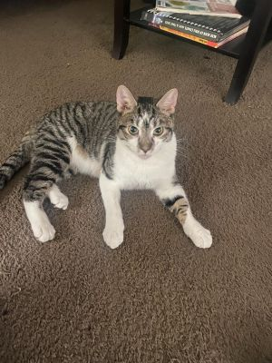 Romeo Tabby Cat