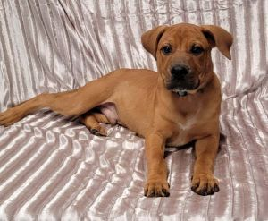 Meet Leroy an 11 week old 24 pound as of 99 adorable mastiff mix This del