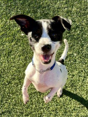 BUNGAE Jack Russell Terrier Dog