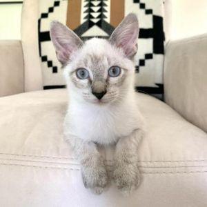 Benvolio Siamese Cat