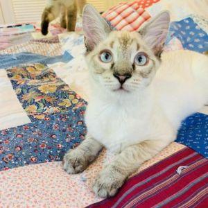 Tybalt Siamese Cat