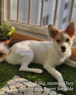 MANSE Spaniel Dog