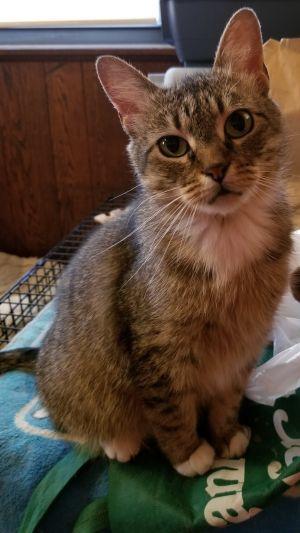 Niah B American Shorthair Cat