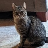 Jo, an adoptable Domestic Short Hair & Tabby Mix in Kentwood, MI_image-1