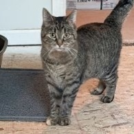 Jo, an adoptable Domestic Short Hair & Tabby Mix in Kentwood, MI_image-2