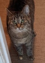 Jo, an adoptable Domestic Short Hair & Tabby Mix in Kentwood, MI_image-3