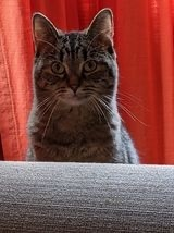 Jo, an adoptable Domestic Short Hair & Tabby Mix in Kentwood, MI_image-4