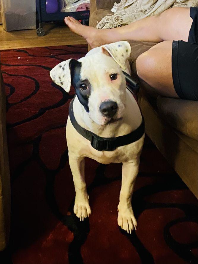 Bella (heartbreaking story)(adoption event Sat 1-4 Premier Pet 13 mile & Southfield)