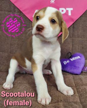 Scootalou