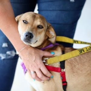 Meet Darcey She is a 9 month young mixed breed most likely cur mix and weighs about 40 pounds Sh