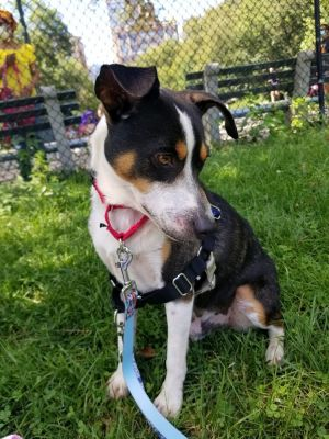 Tom is a 7-year-old 23-pound jack russell terrier mix from Texas Tom is the sweetest boy and the t