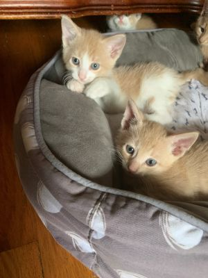 Meet Angus solid buff and Rupert Two extremely playful brothers that are the sweetest kittens Lo