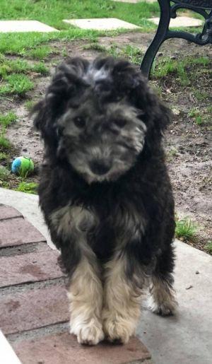 AMY FARRAH Poodle Dog