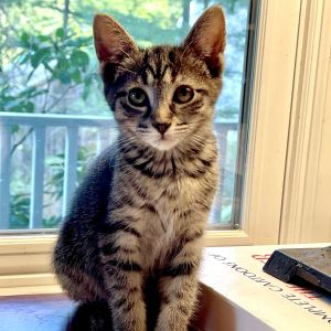 Meet Savannah an adorable 13-week-old tabby with the most gorgeous coat This true southern belle c