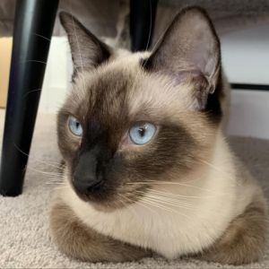 Willoughby Siamese Cat